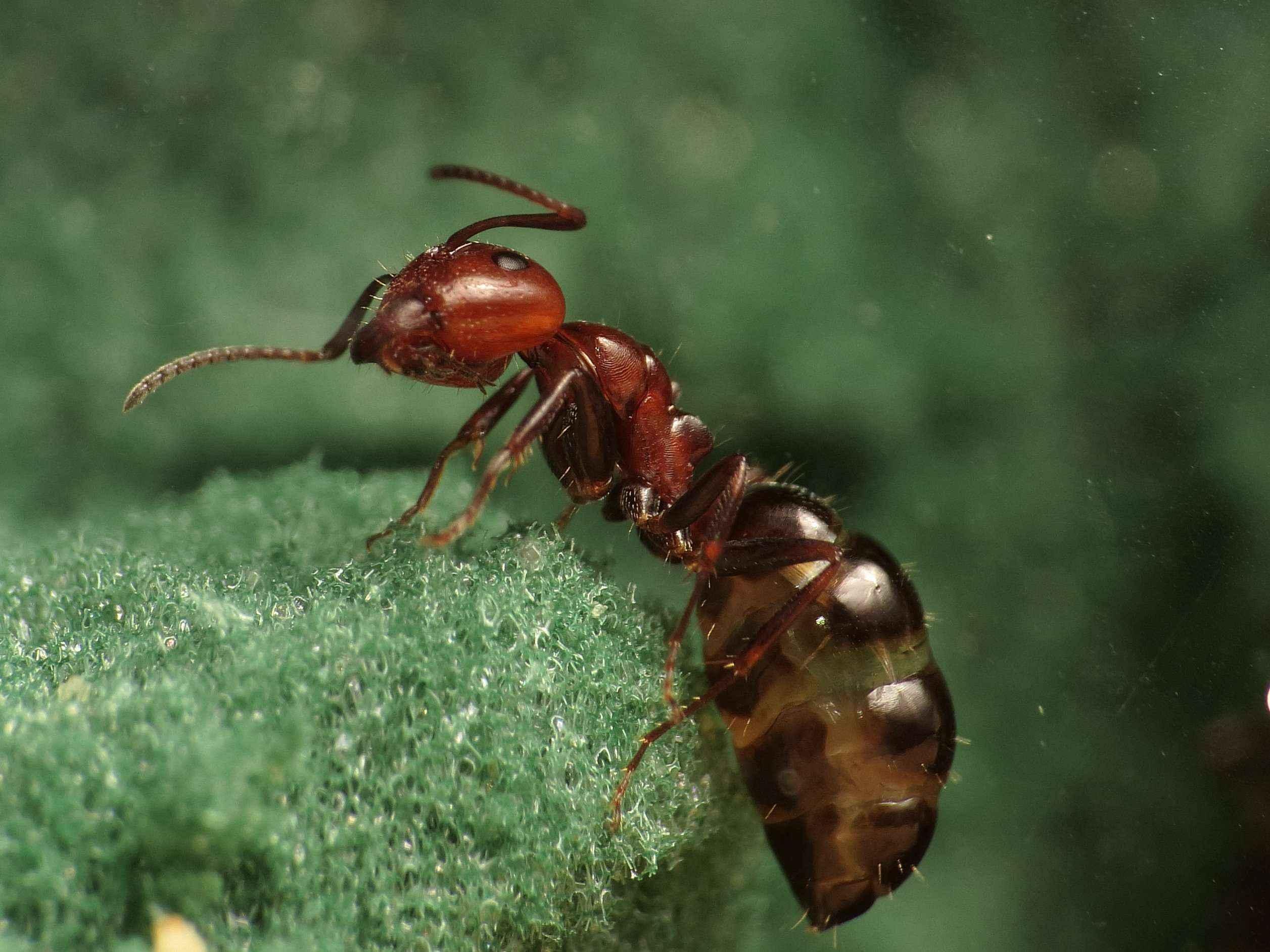 Camponotus lateralis richten es sich gemütlich ein