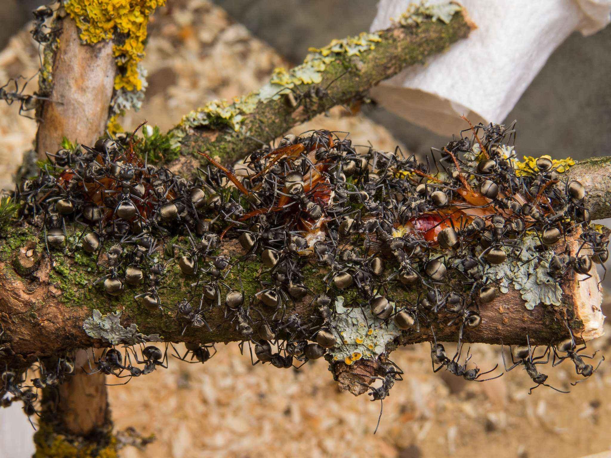 update zur polyrhachis dives kolonie crazy ants. Black Bedroom Furniture Sets. Home Design Ideas