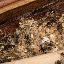 Mehrere Arbeiterinnen verwenden Larven zum Nestbau.