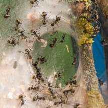 Mehrere Polyrhachis dives Arbeiterinnen verengen gerade eine Stelle zwischen Zweig und Glasscheibe.