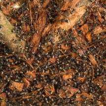 Polyrhachis dives Arbeiterinnen sind mit dem Kokoshumus beschäftigt.