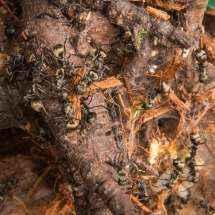 Mehrere Polyrhachis dives Arbeiterinnen zerlegen ein Stück Kokoshumus.