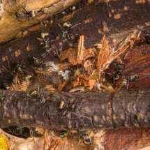 Polyrhachis dives Arbeiterinnen beim Nestbau auf der linken Seite.