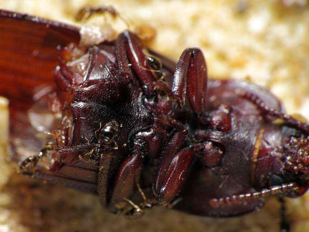 Plagiolepis pygmaea Arbeiterinnen an einem toten Mehlkäfer