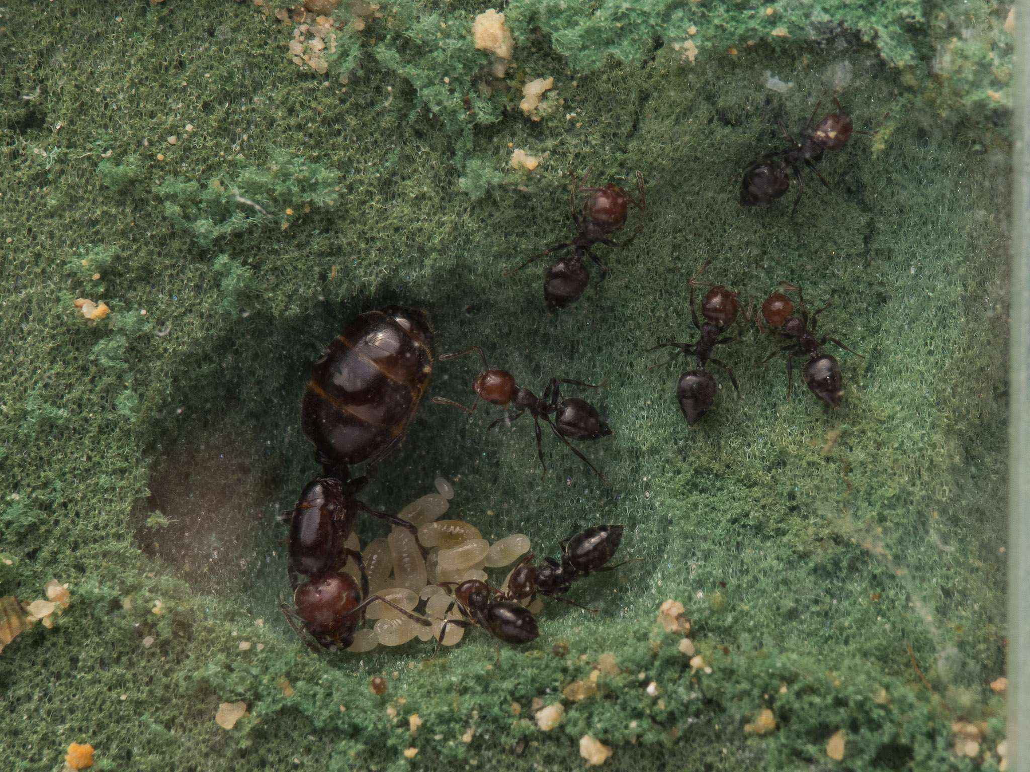 Crematogaster scutellaris: Gemeinschaftshaltung mit Camponotus lateralis
