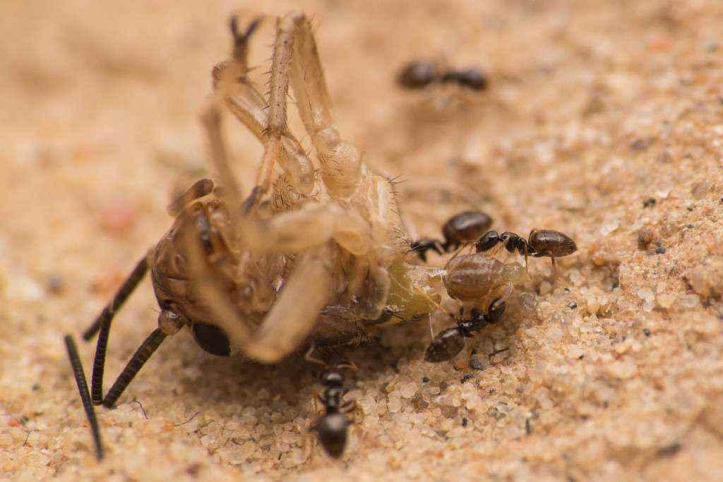 Mehrere Plagiolepis pygmae Arbeiterinnen machen sich an einem Heimchenkopf zu schaffen