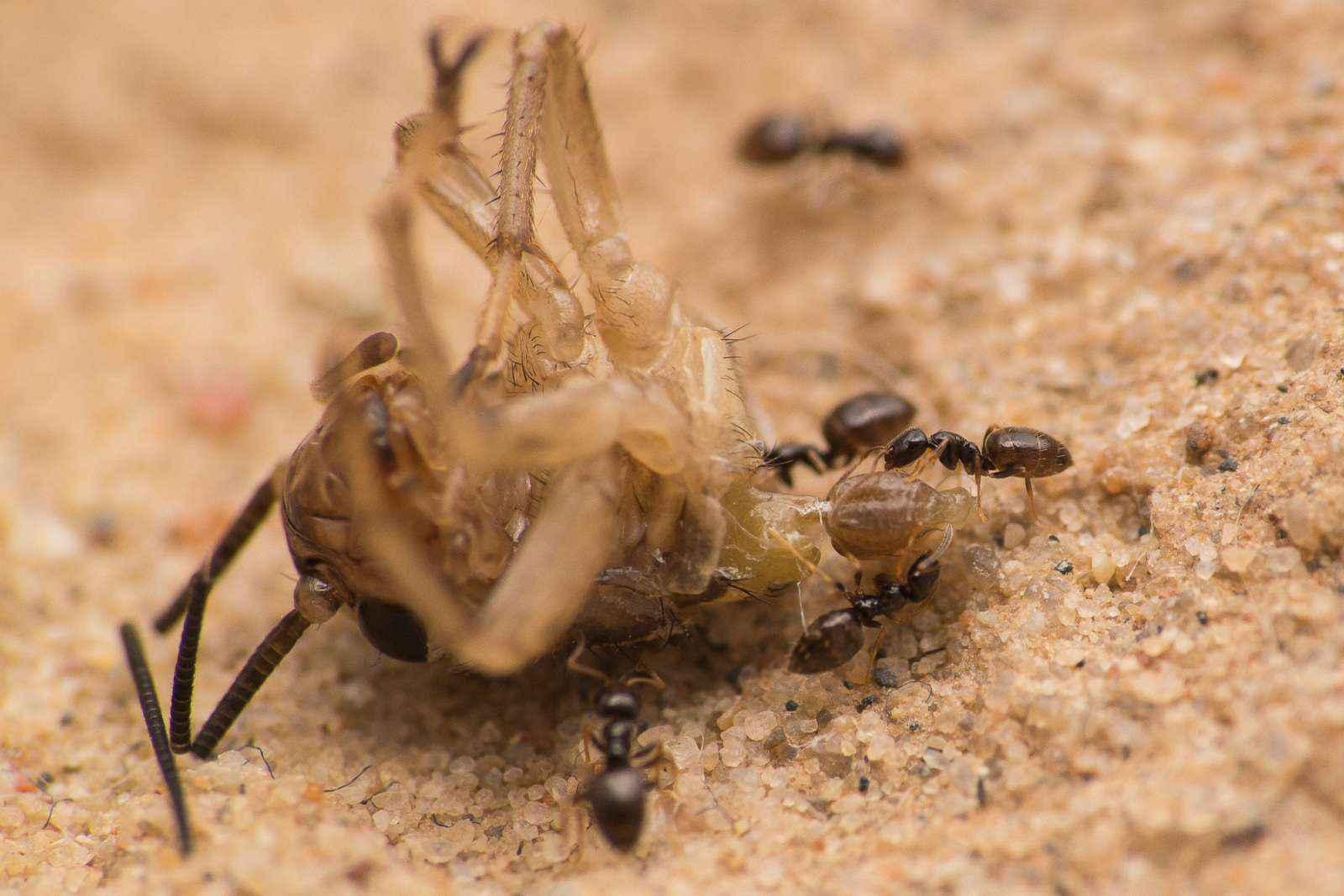 Plagiolepis pygmaea: die kleinen Wilden
