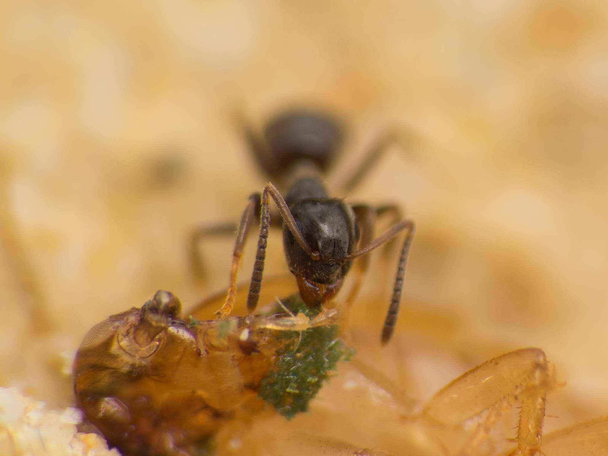 Lasius niger: Schabenymphen sind beliebt