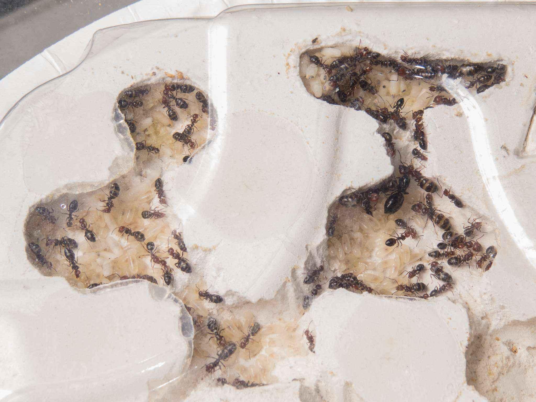 Camponotus lateralis: Umzug ins Gipsnest