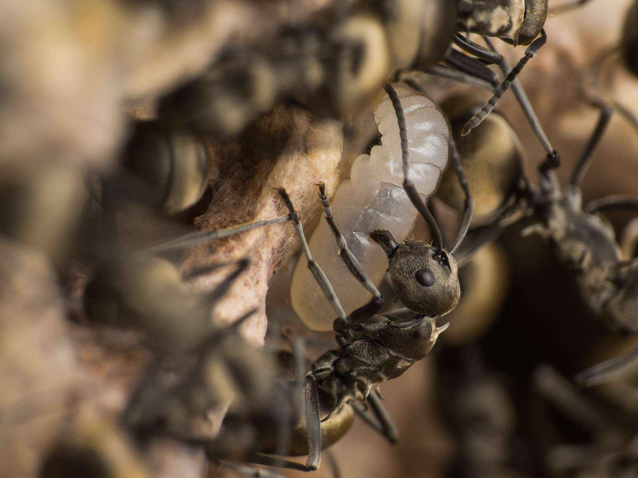 Polyrhachis dives: Wieder mehr Wärme