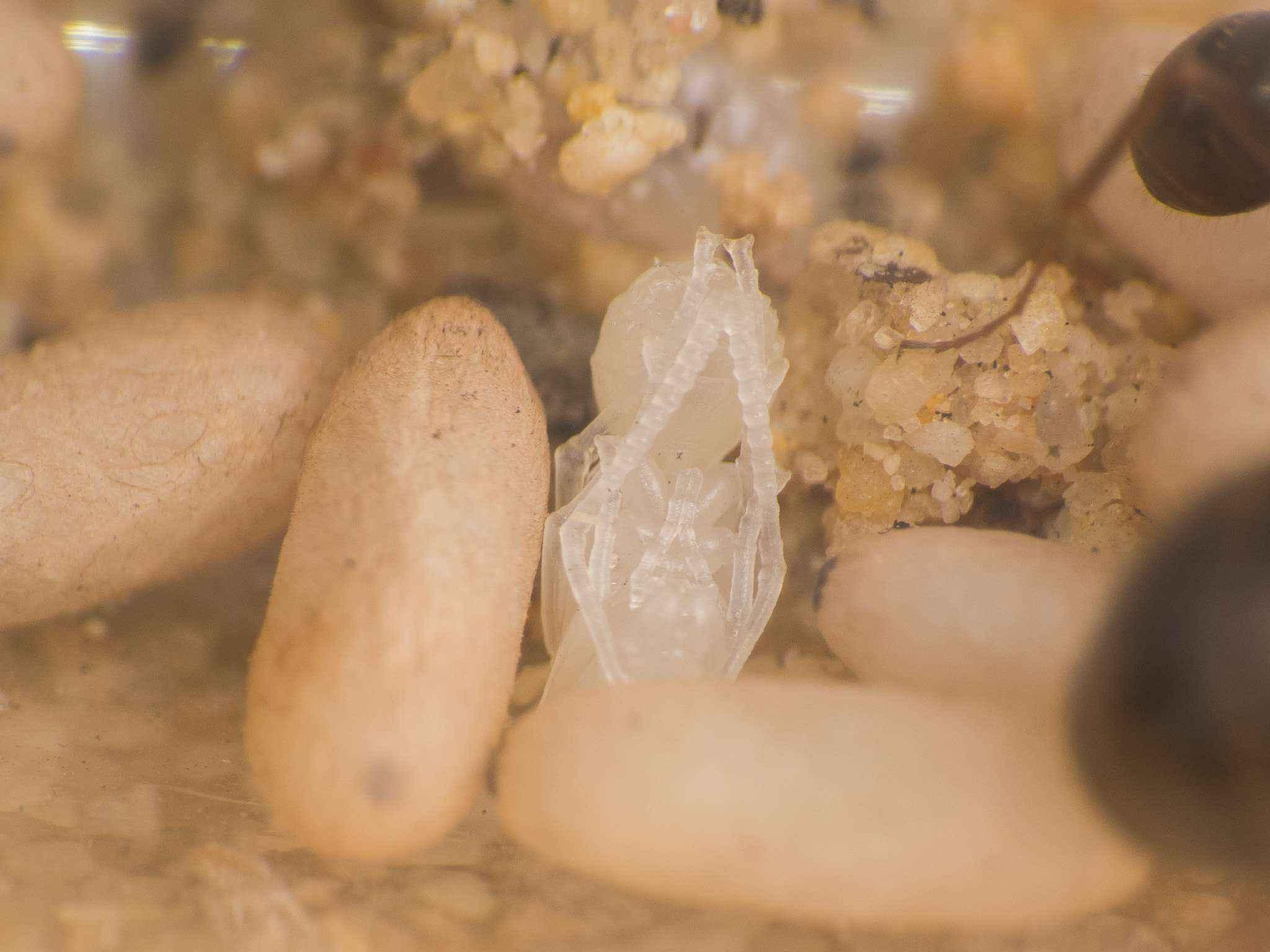 Formica fusca: kleiner Bevölkerungszuwachs