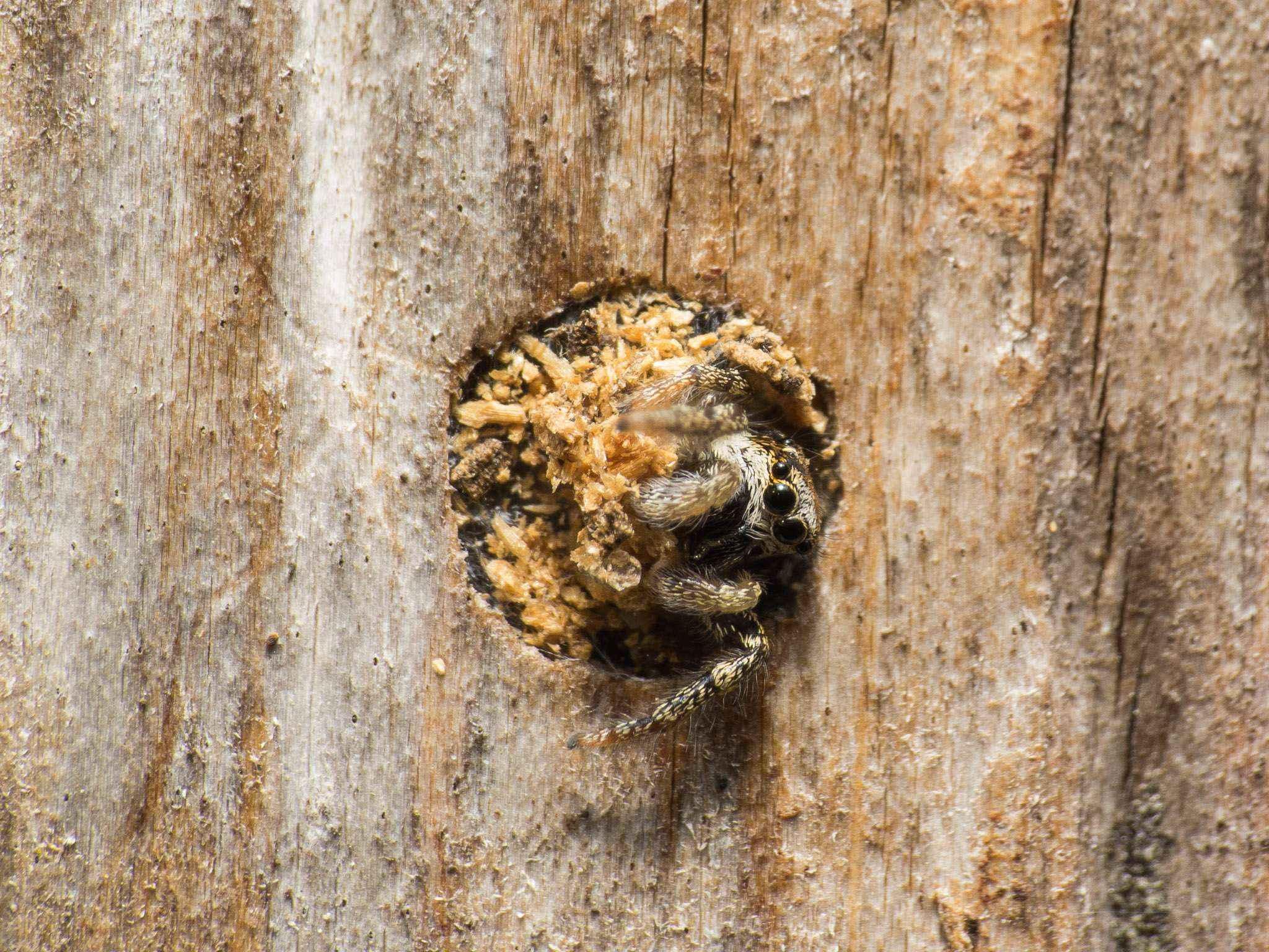 Camponotus vagus: Einige Mitbewohner
