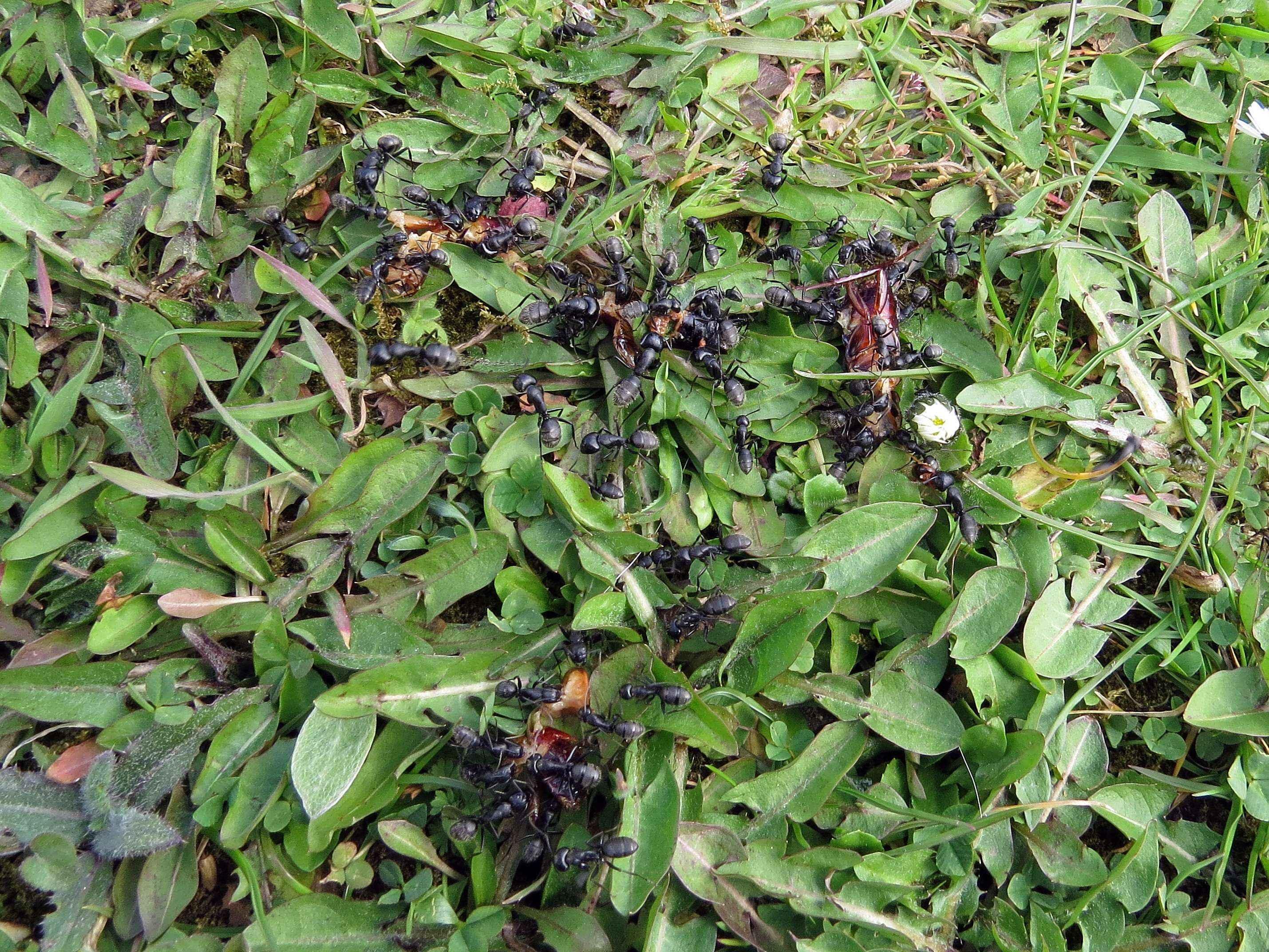 Camponotus vagus: Anstieg der Aktivität