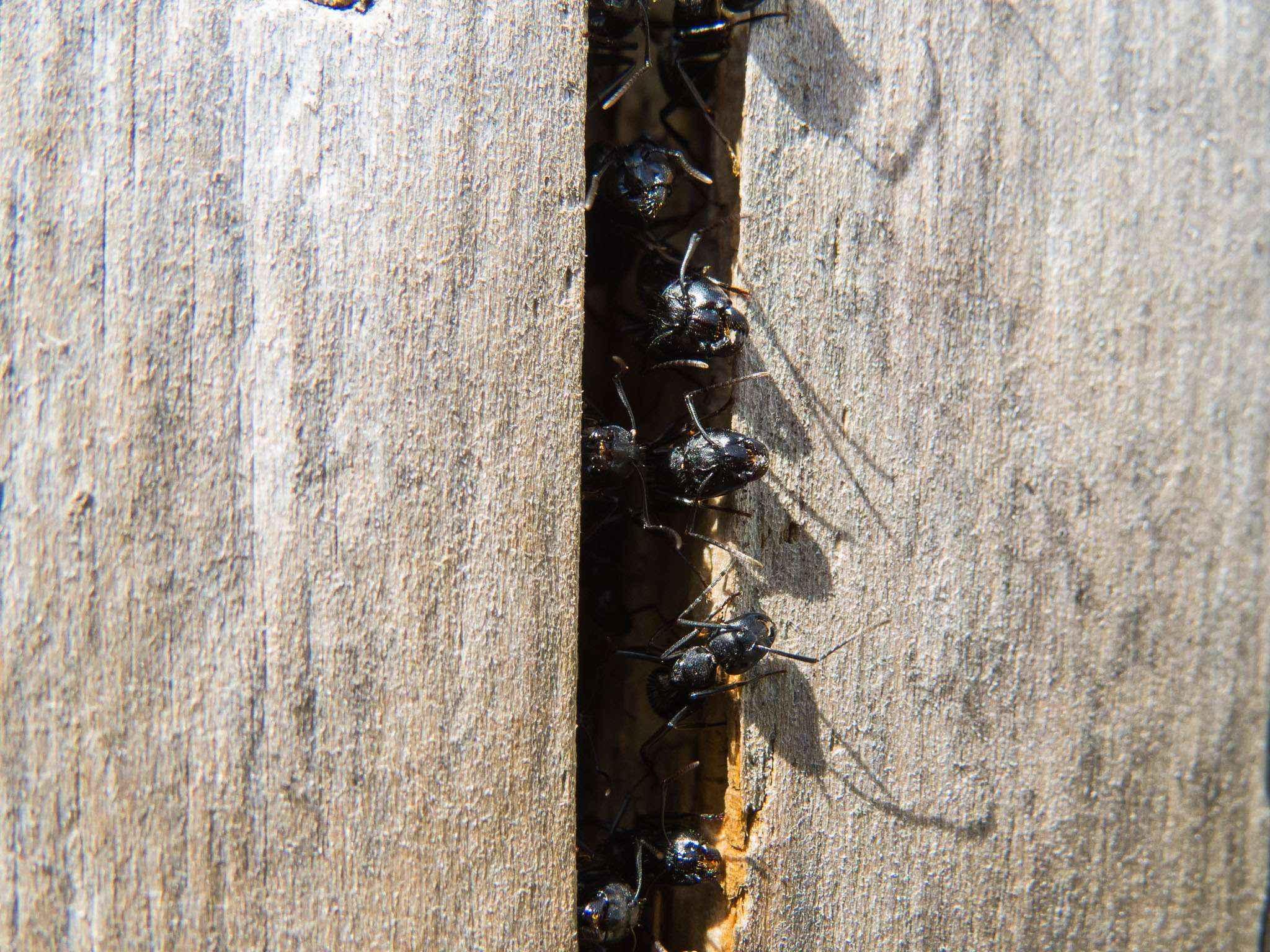 Camponotus vagus: Anzeichen für bevorstehenden Schwarmflug