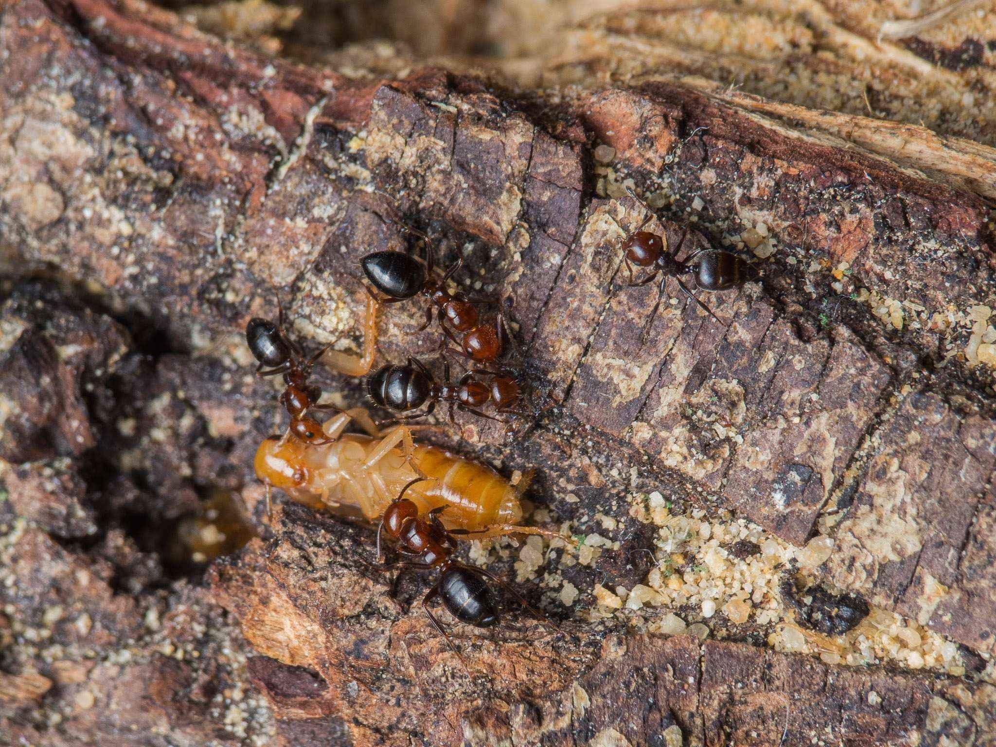 Camponotus lateralis: Keine Proteine für Crematogaster scutellaris