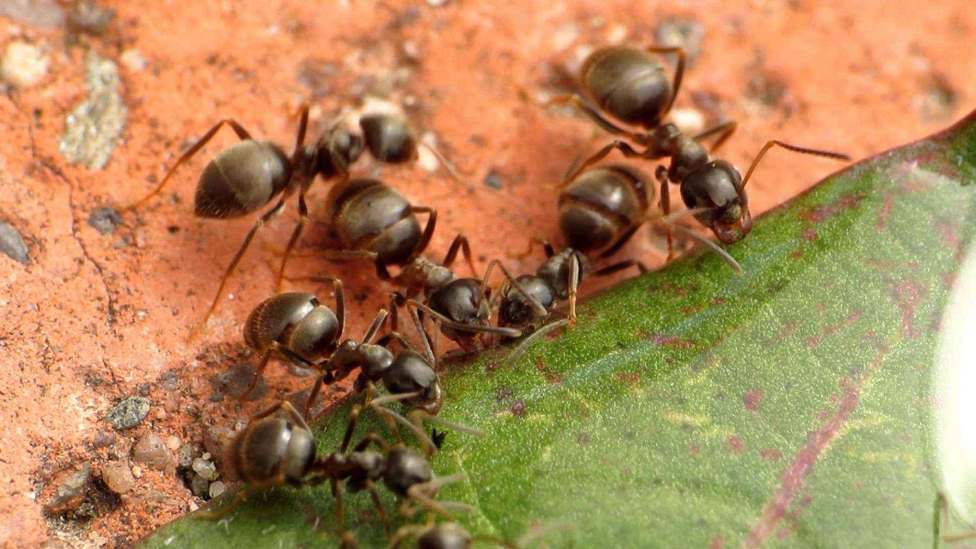 Lasius niger: Fütterung mit Zuckerwasser (Video)