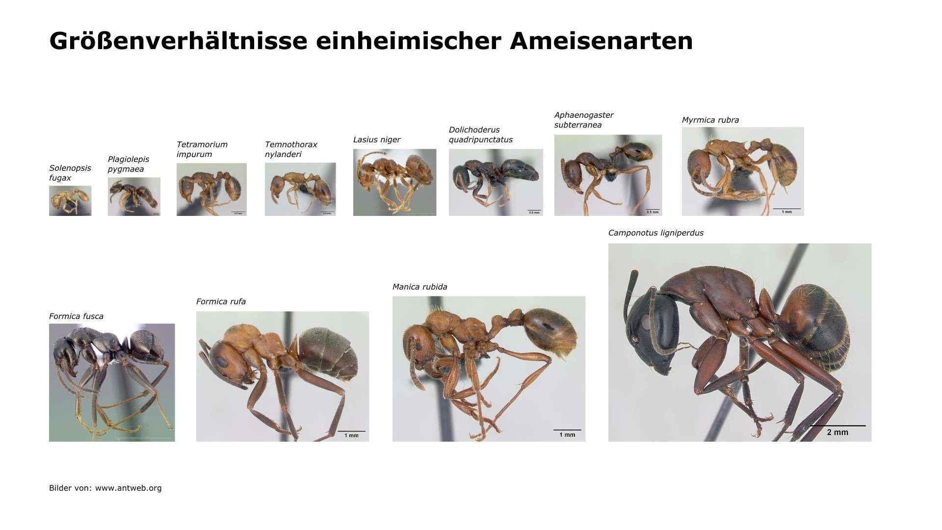Größenverhältnisse einheimischer Ameisenarten