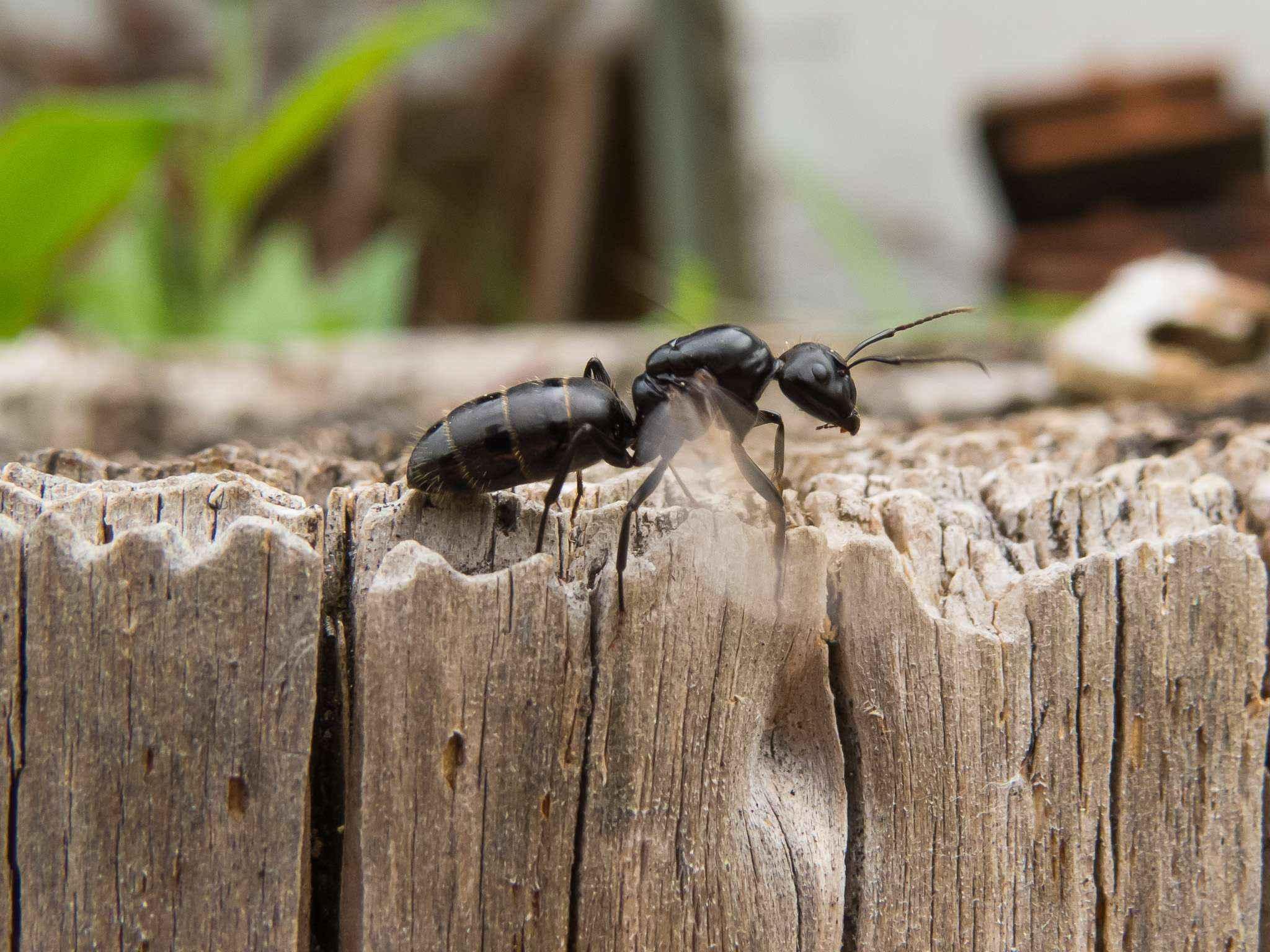 Camponotus vagus: Aufwärmen für den Schwarmflug