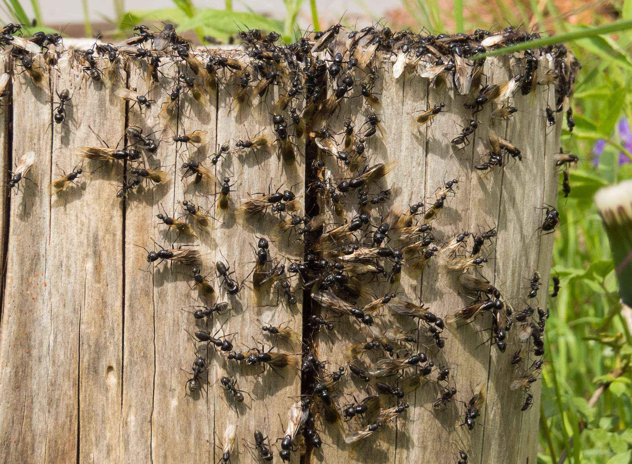Camponotus vagus: Schwarmflug 2015