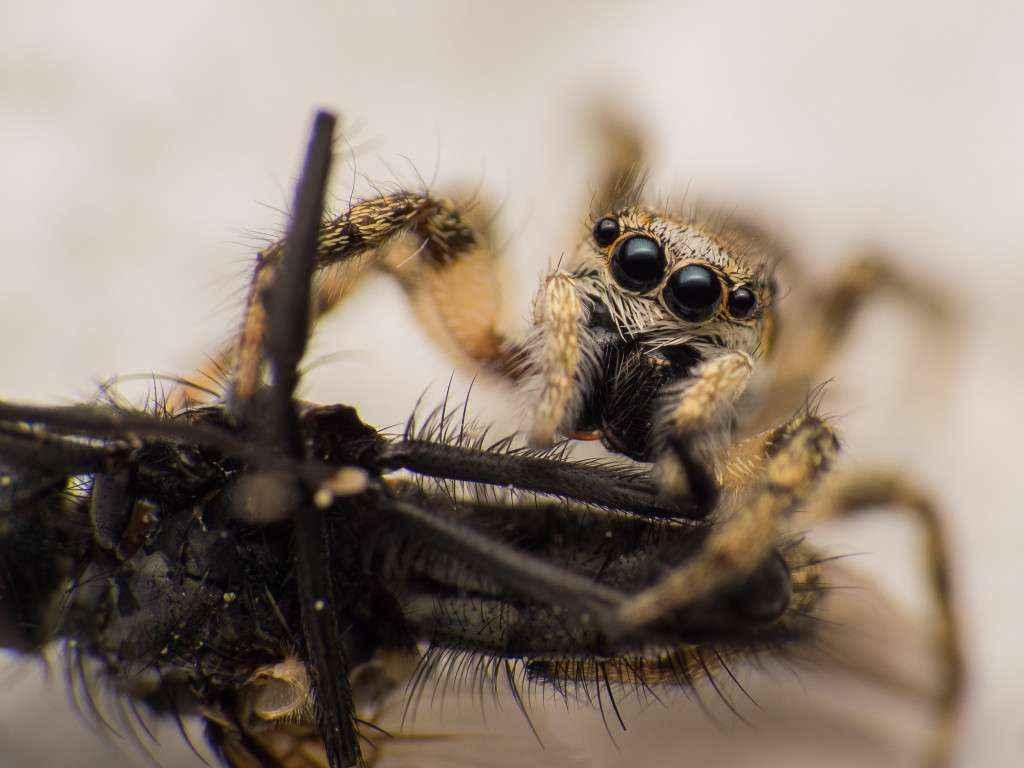 Nahaufnahme einer Zebraspringspinne. Man erkennt ihre Beute (eine kleine Fliege) und ihre vier vorderen Augen.