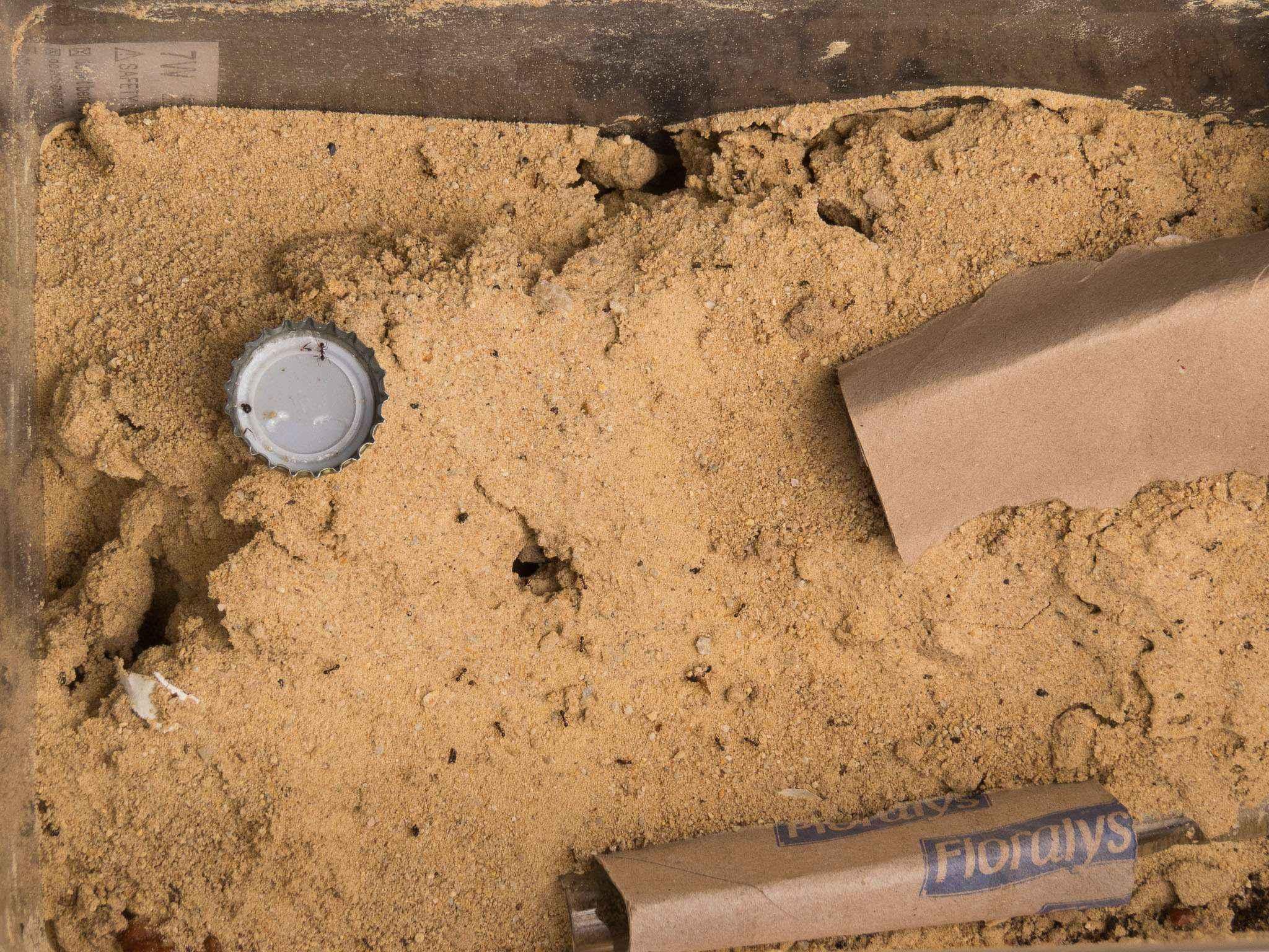 Pheidole spathifera: Ausgegraben