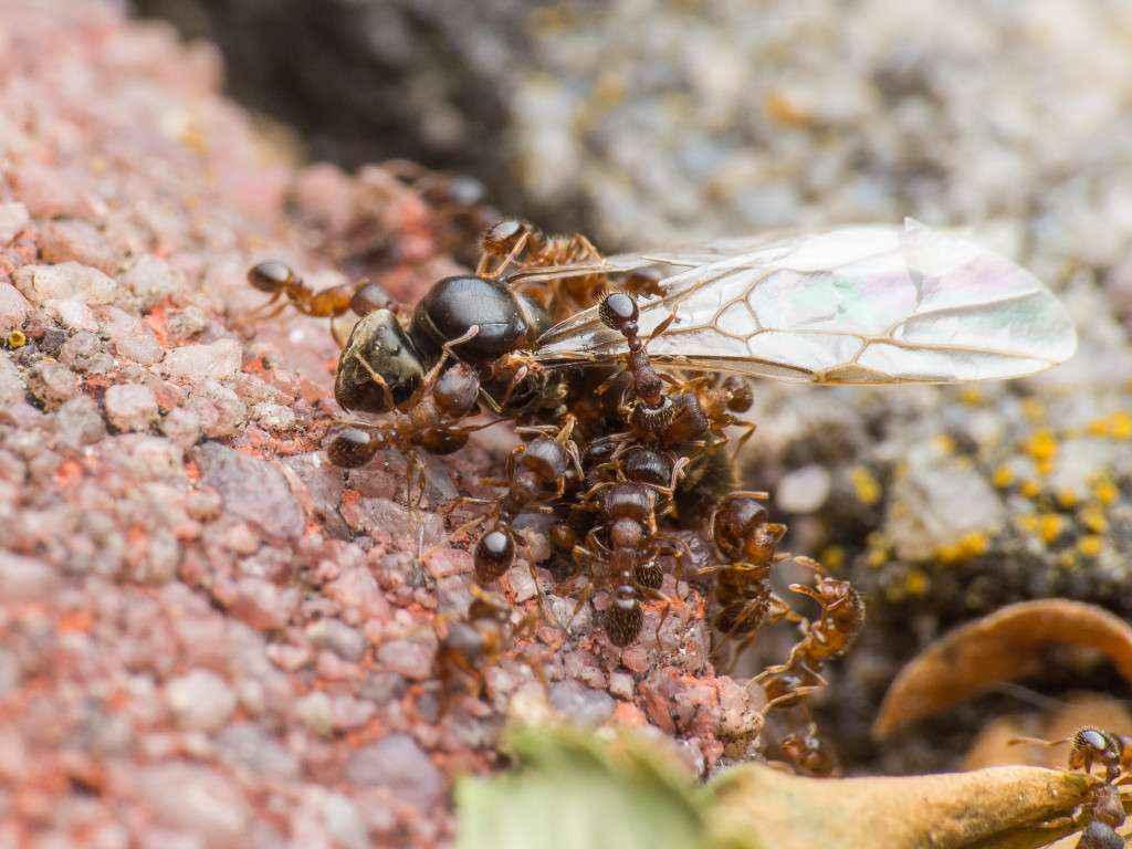 Tetramorium sp. Arbeiterinnen zerren eine tote Lasius niger Gyne in Richtung Nesteingang.