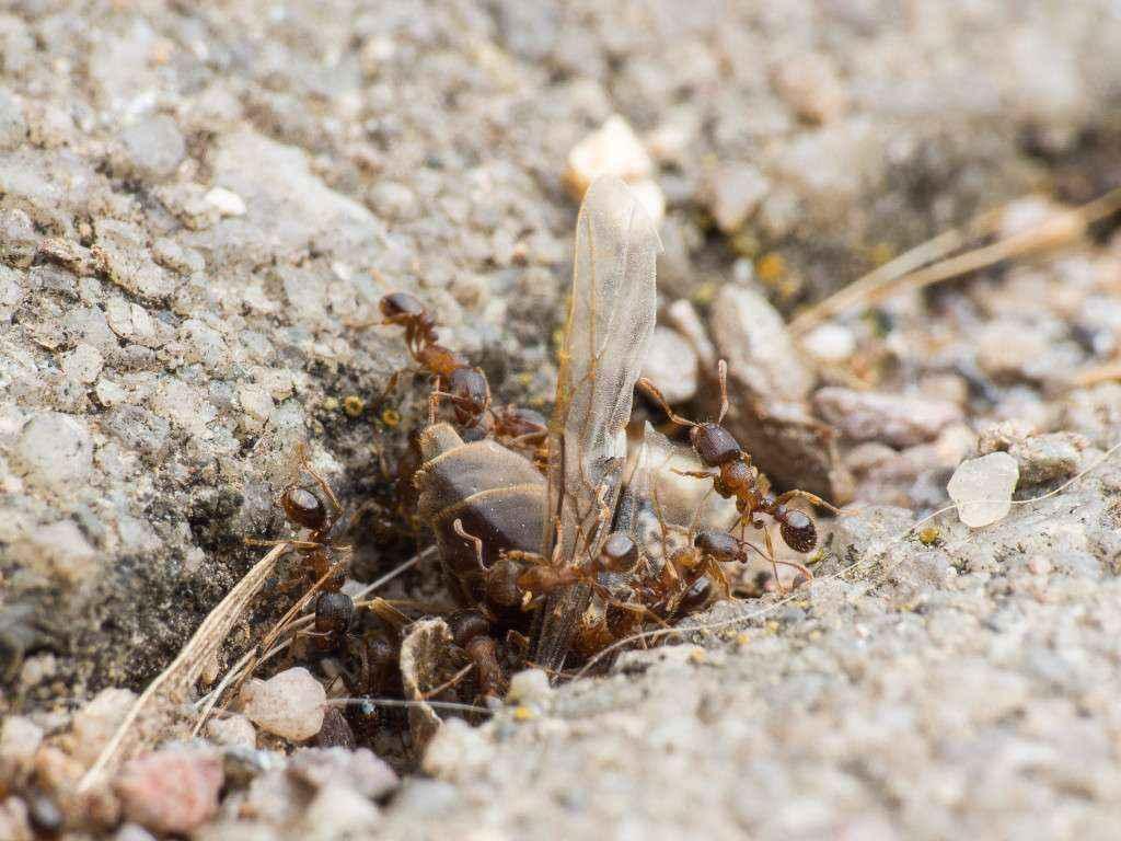 Die tote Lasius niger Gyne steckt im Nesteingang der Tetramorium sp. fest.