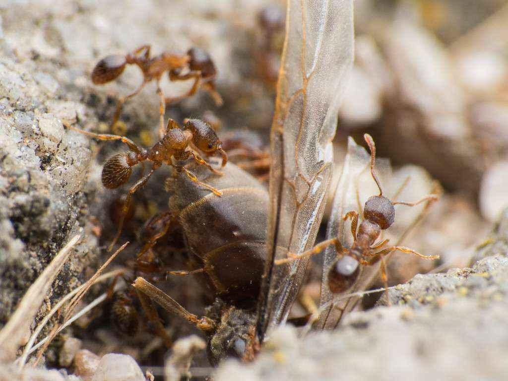 Nahansicht der toten Lasius niger Gyne, die im Nesteingang steckt.