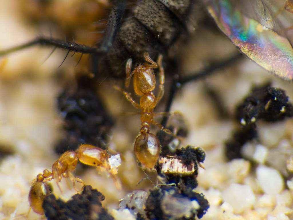 Nahansicht einer Solenopsis fugax Arbeiterin beim Zerlegen der Fliege.