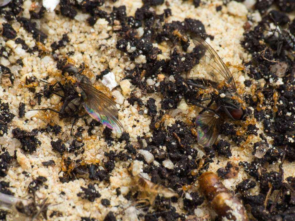 Viele Solenopsis fugax Arbeiterinnen zerlegen die zwei Fliegen.