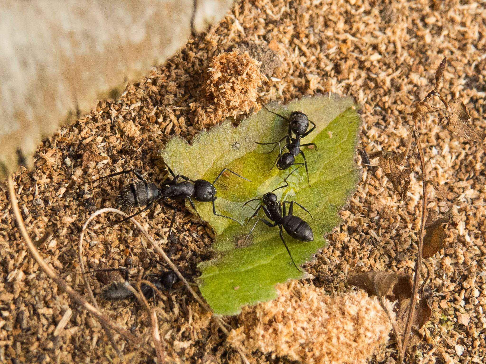 Camponotus vagus: Herbstliche Aktivitäten