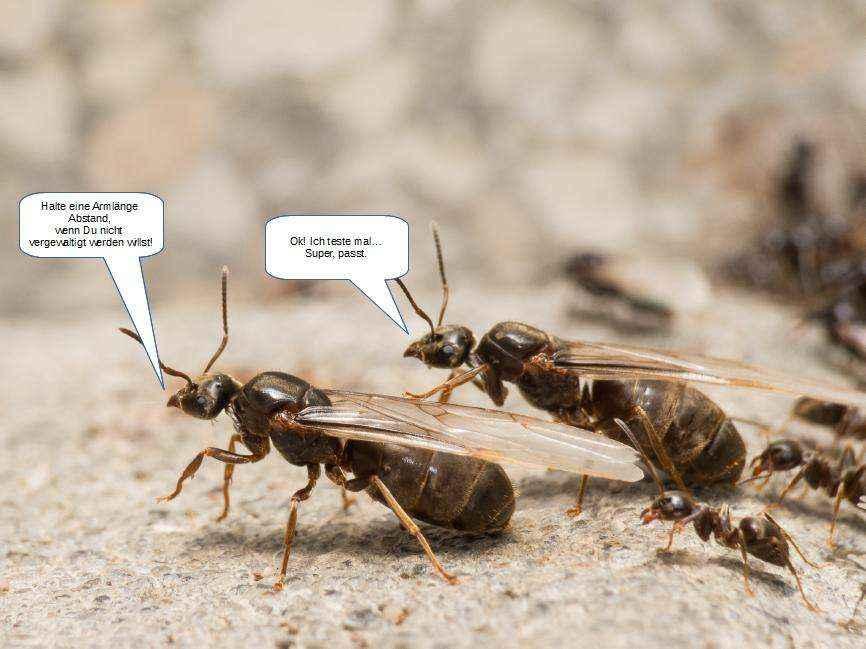 Zwei Ameisenkönigin halten zur Prävention einer Vergewaltigung eine Armlänge Abstand.
