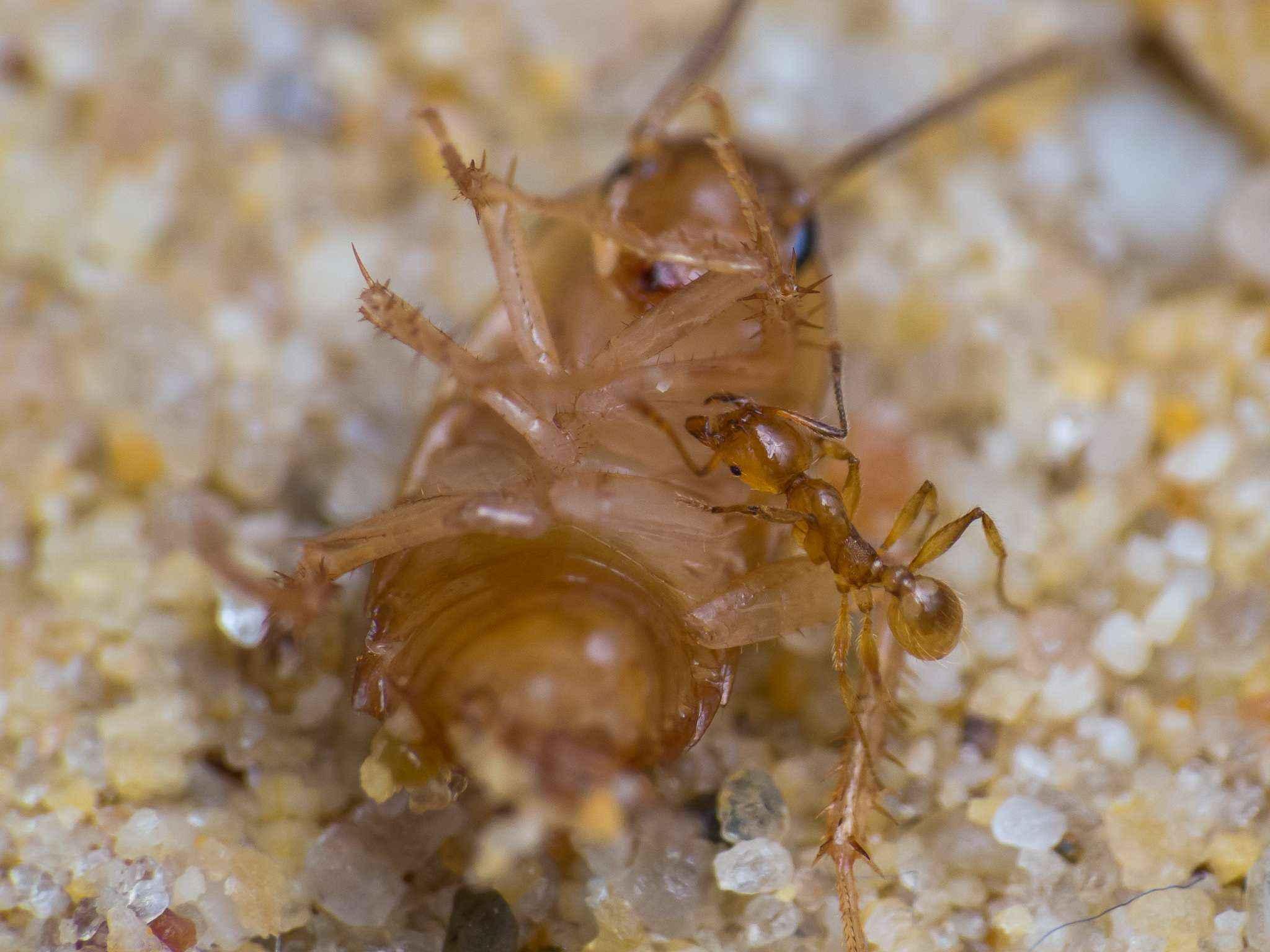 pheidole flaveria sch ne kleine gelbe ameisen crazy ants. Black Bedroom Furniture Sets. Home Design Ideas