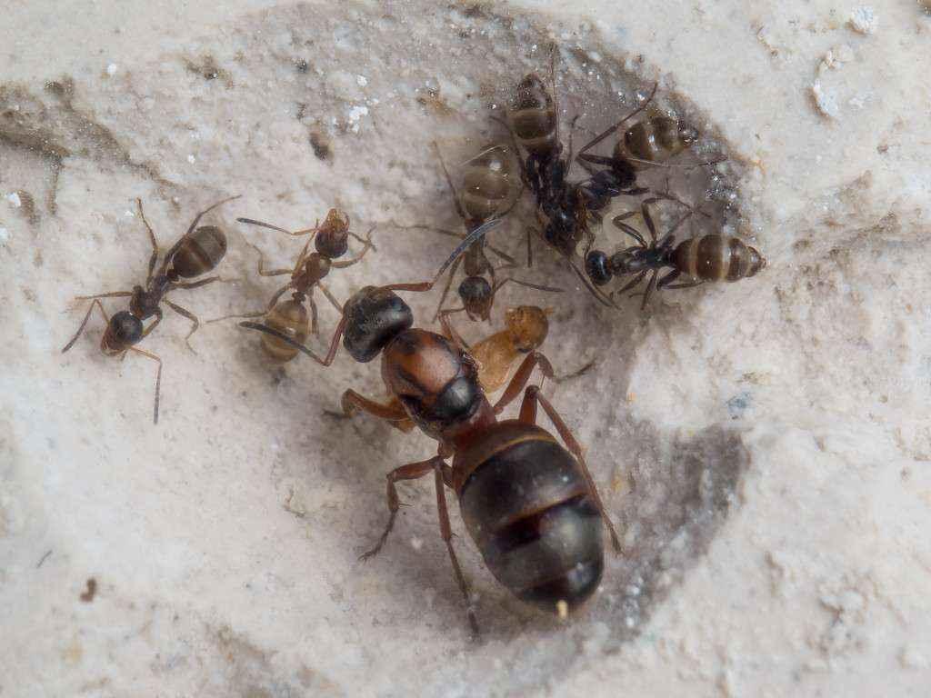 Die kleine Formica sp. Kolonie in einer Kammer des Gipsnestes.