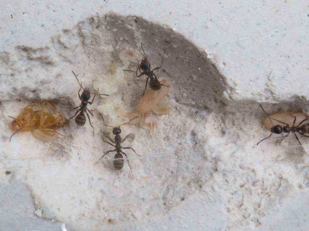 Brut der Formica sp. Kolonie: 2 Puppen, mehrere Larven und 2 Eipakete.
