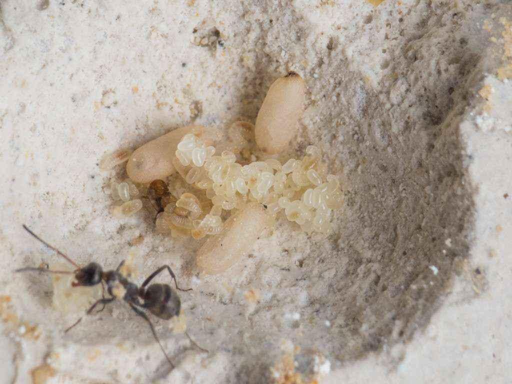 Viele Eier und Larven liegen auf einem Haufen in einer Nestkammer.