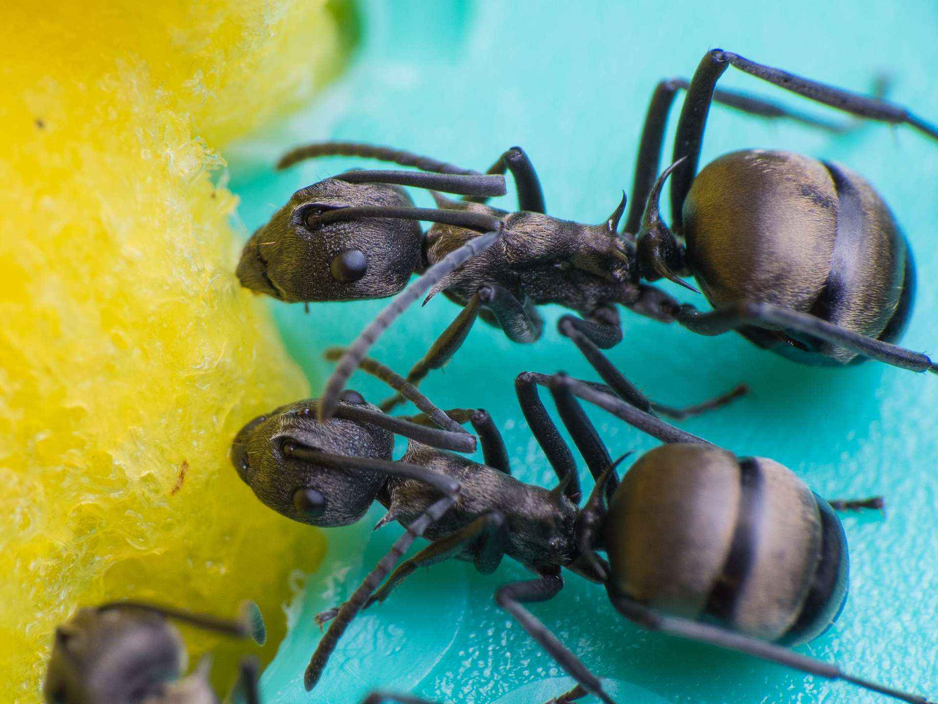 "Polyrhachis dives: Die Ameisentränke ""Saskia"""