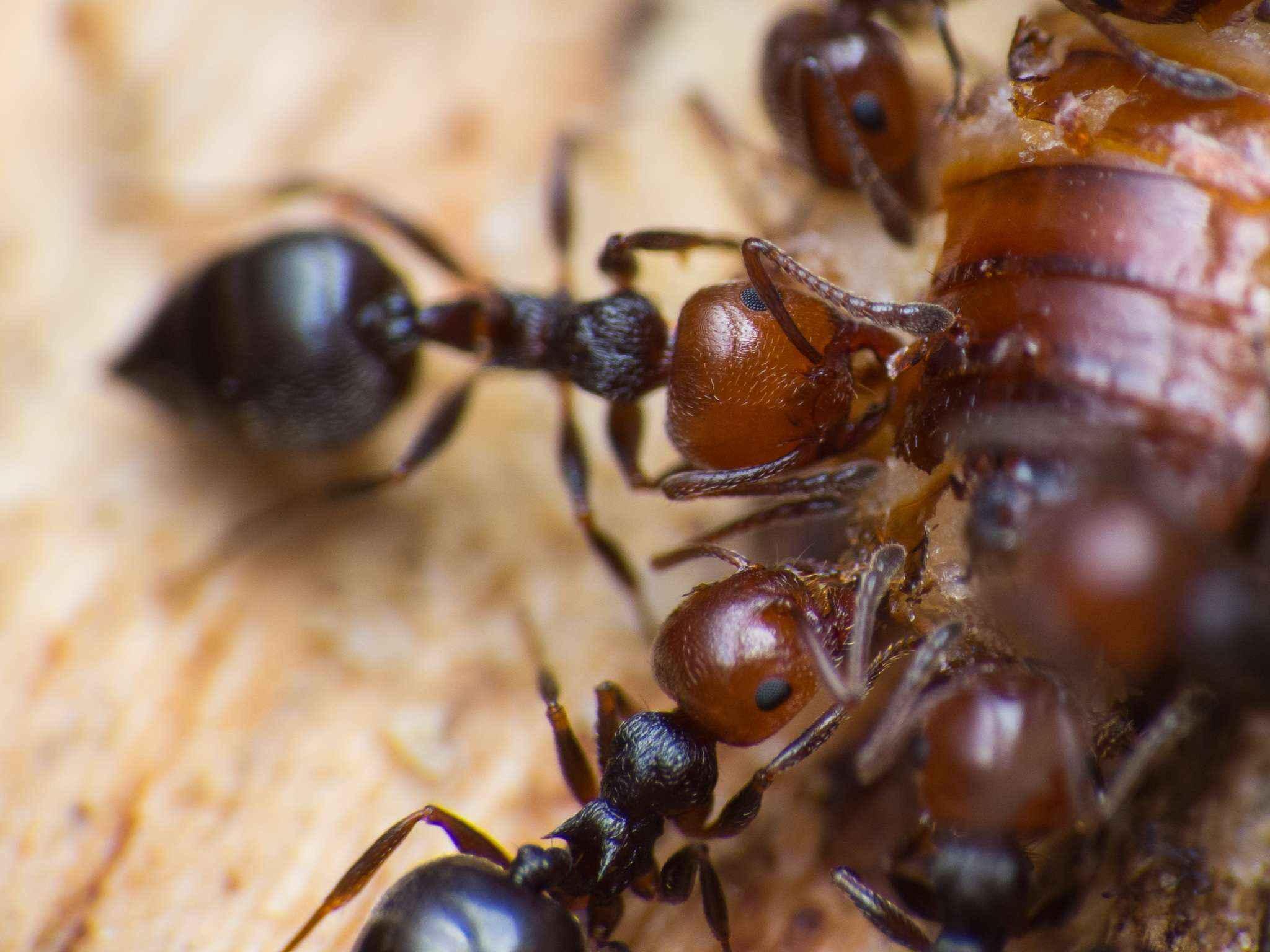 Crematogaster scutellaris: Viele Larven mit Hunger auf Proteine