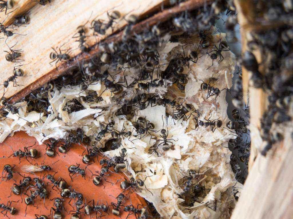 polyrhachis dives bilder vom zweignest crazy ants. Black Bedroom Furniture Sets. Home Design Ideas