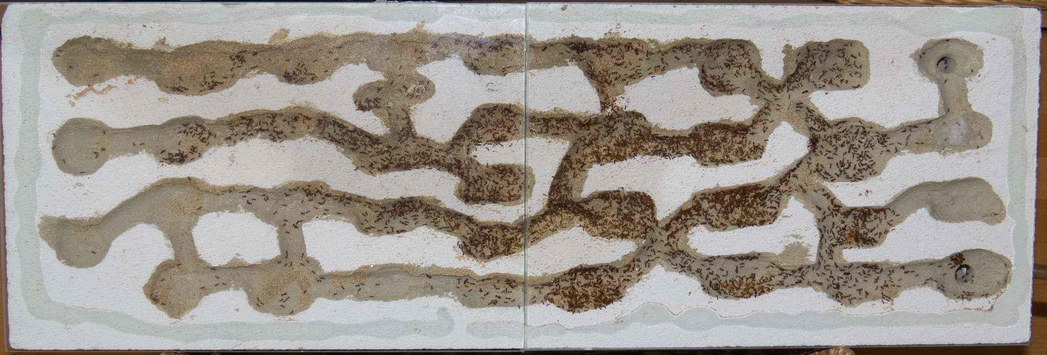 Pheidole pallidula: Umzug abgeschlossen