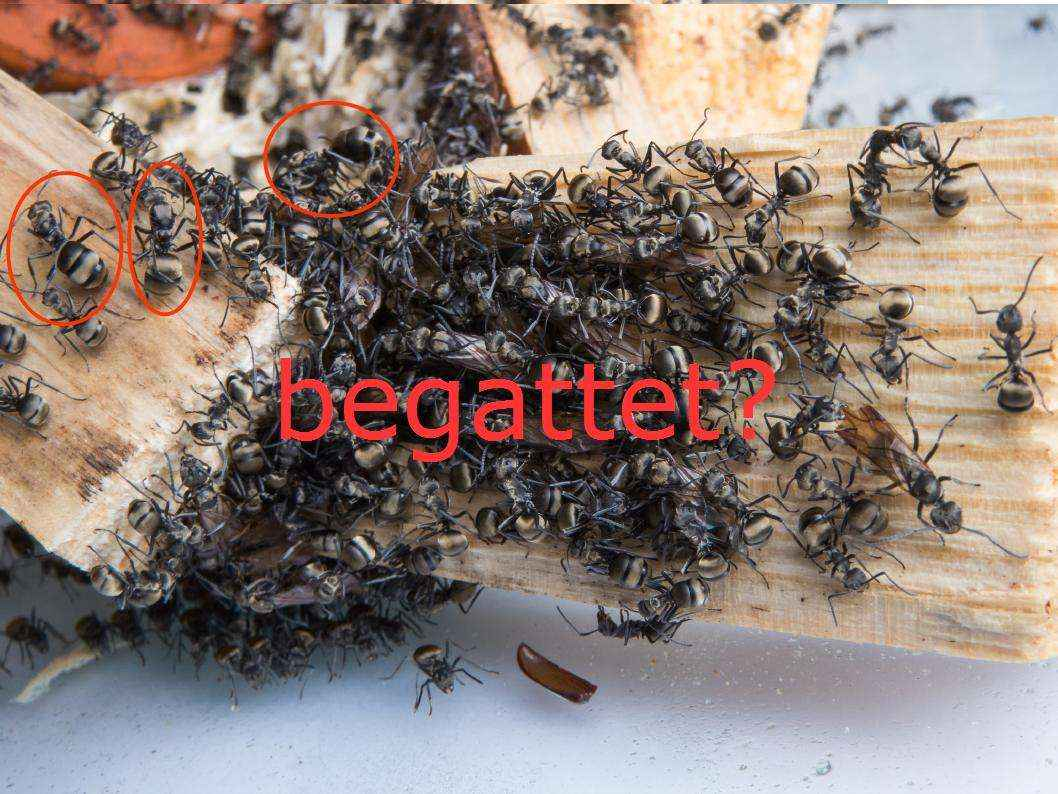 Unbegattete Königinnen bei Kolonien polygyner Arten