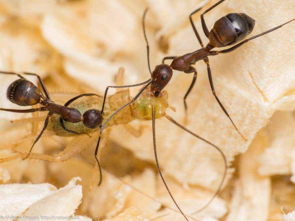 Zwei <em>Camponotus nicobarensis</em> Arbeiterinnen transportieren ein Heimchen zum Nest.