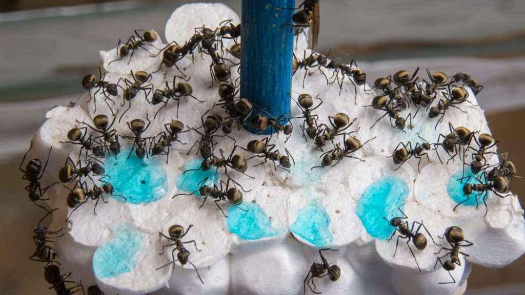Einige Polyrhachis dives Arbeiterinnen trinken das blaue Zuckerwasser.