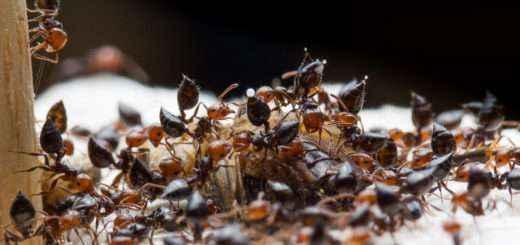 Viele Crematogaster scutellaris Arbeiterinnen beim Fressen einer Steppengrille (Gryllus assimilis). Einige Ameisen strecken ihre Gaster in die Höhe und man erkennt einen Tropfen Wehrsekret, welcher sich am Ende des Stachels gebildet hat.