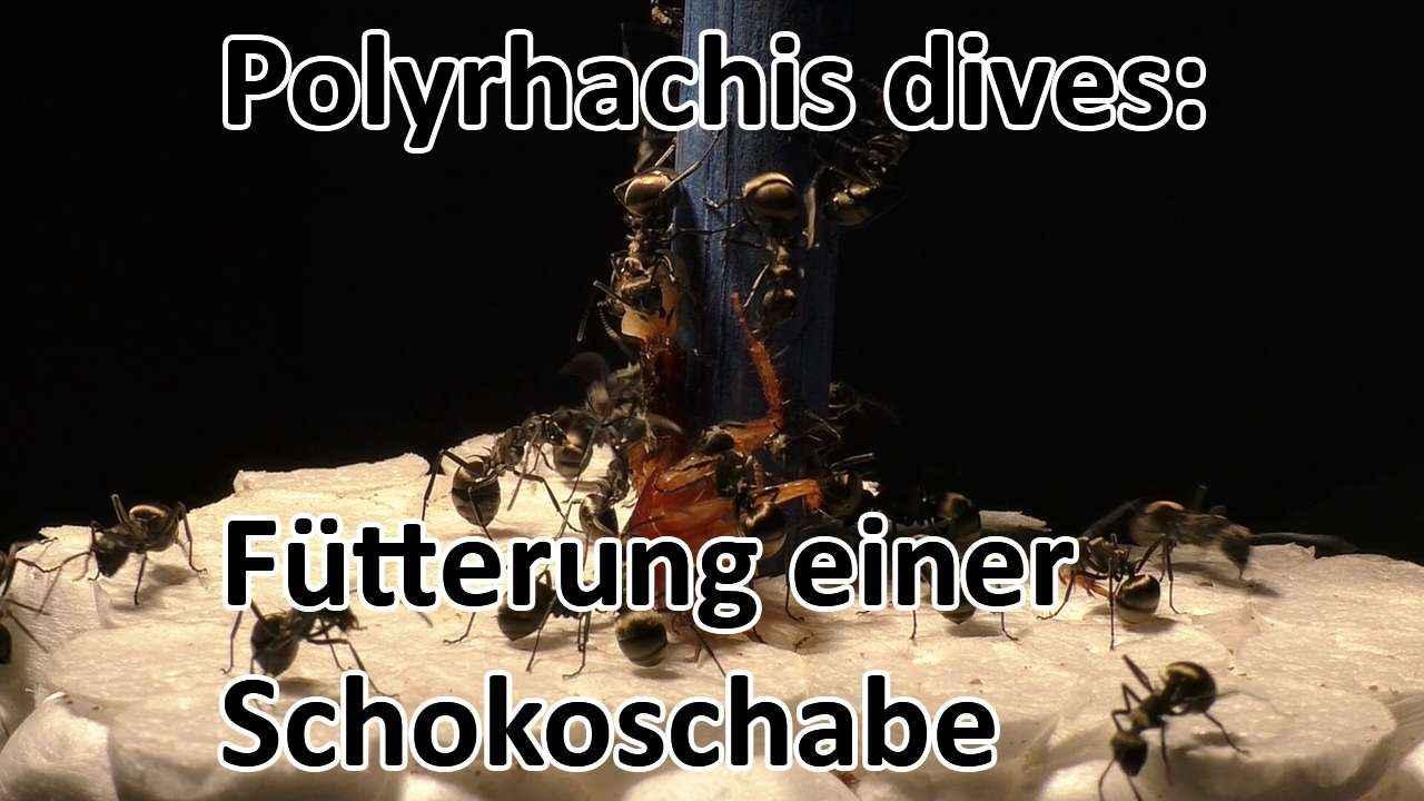 Polyrhachis dives: Fütterung einer Schokoschabe (Video)