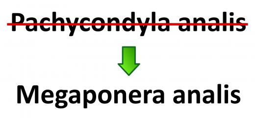 Pachycondyla analis heißt jetzt Megaponera analis. Das ist nur eine der vielen Änderungen der letzten zwei Jahre