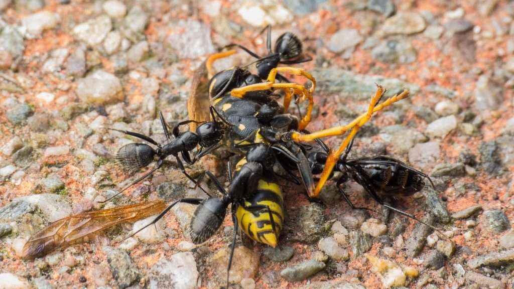 Vier Camponotus vagus Arbeiterinnen zerlegen die tote Feldwespe
