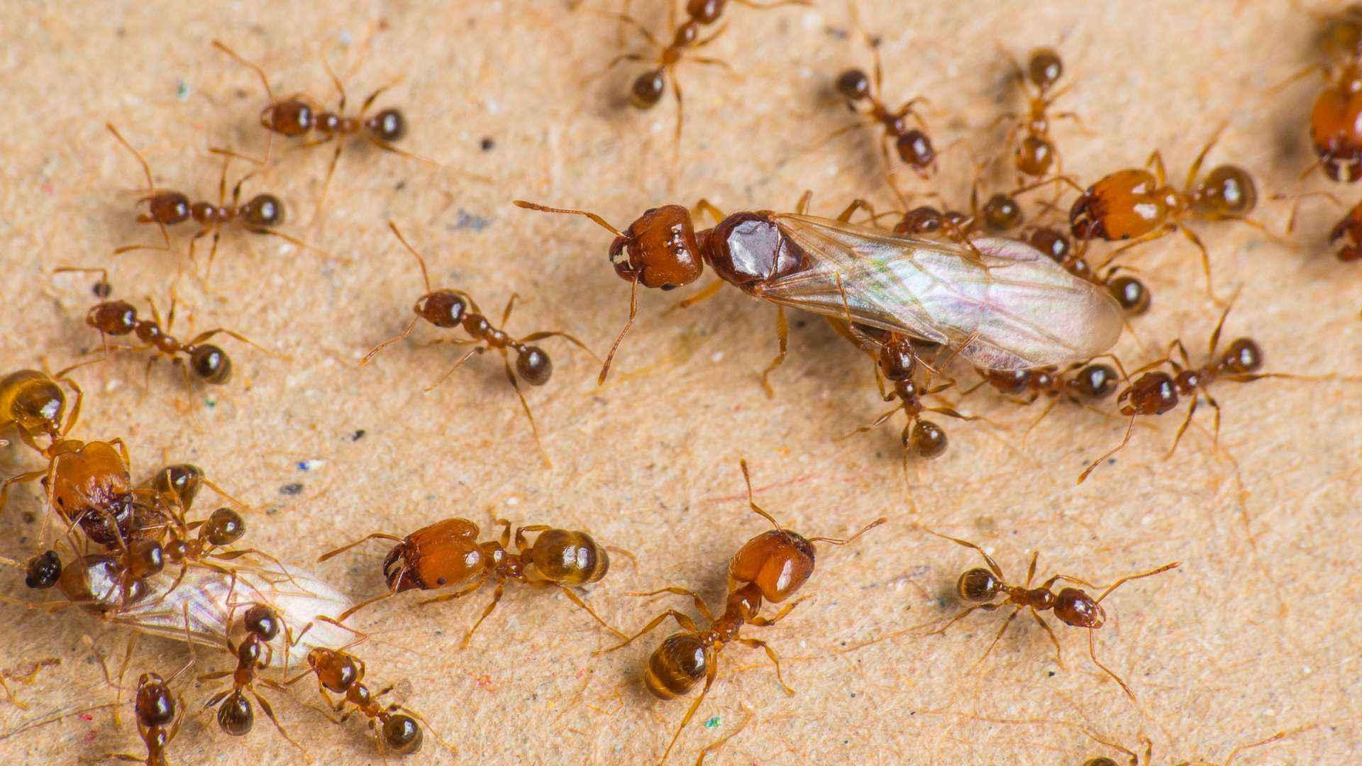 pheidole pallidula erster schwarmflug crazy ants. Black Bedroom Furniture Sets. Home Design Ideas