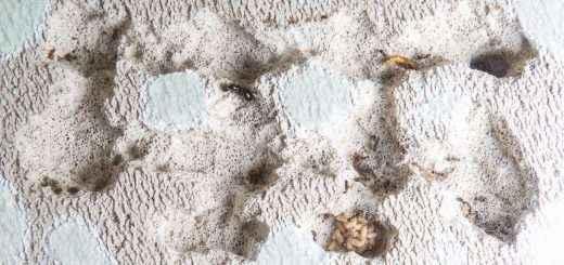 Eine Formica fusca Kolonie lebt in einem Ytongnest. Waren sie besonders anfällig für Milben?