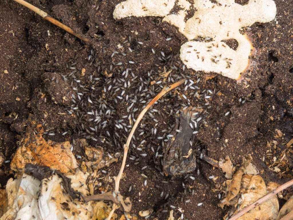 Viele männliche Geschlechtstiere befinden sich direkt auf der Oberfläche des Nests.